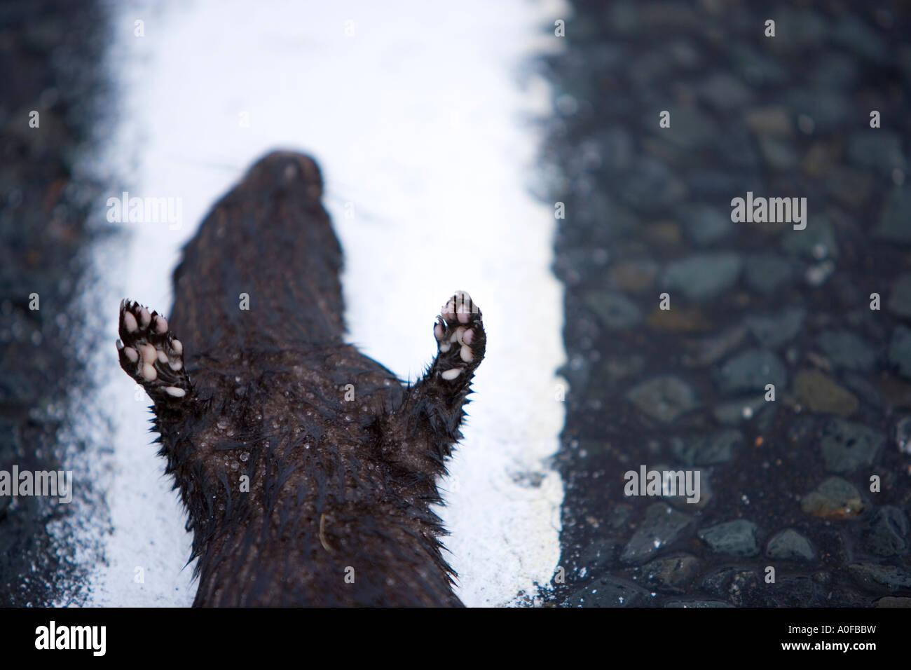 alamyprorank Introduced invasive American Mink dead on roadside as roadkill - Stock Image