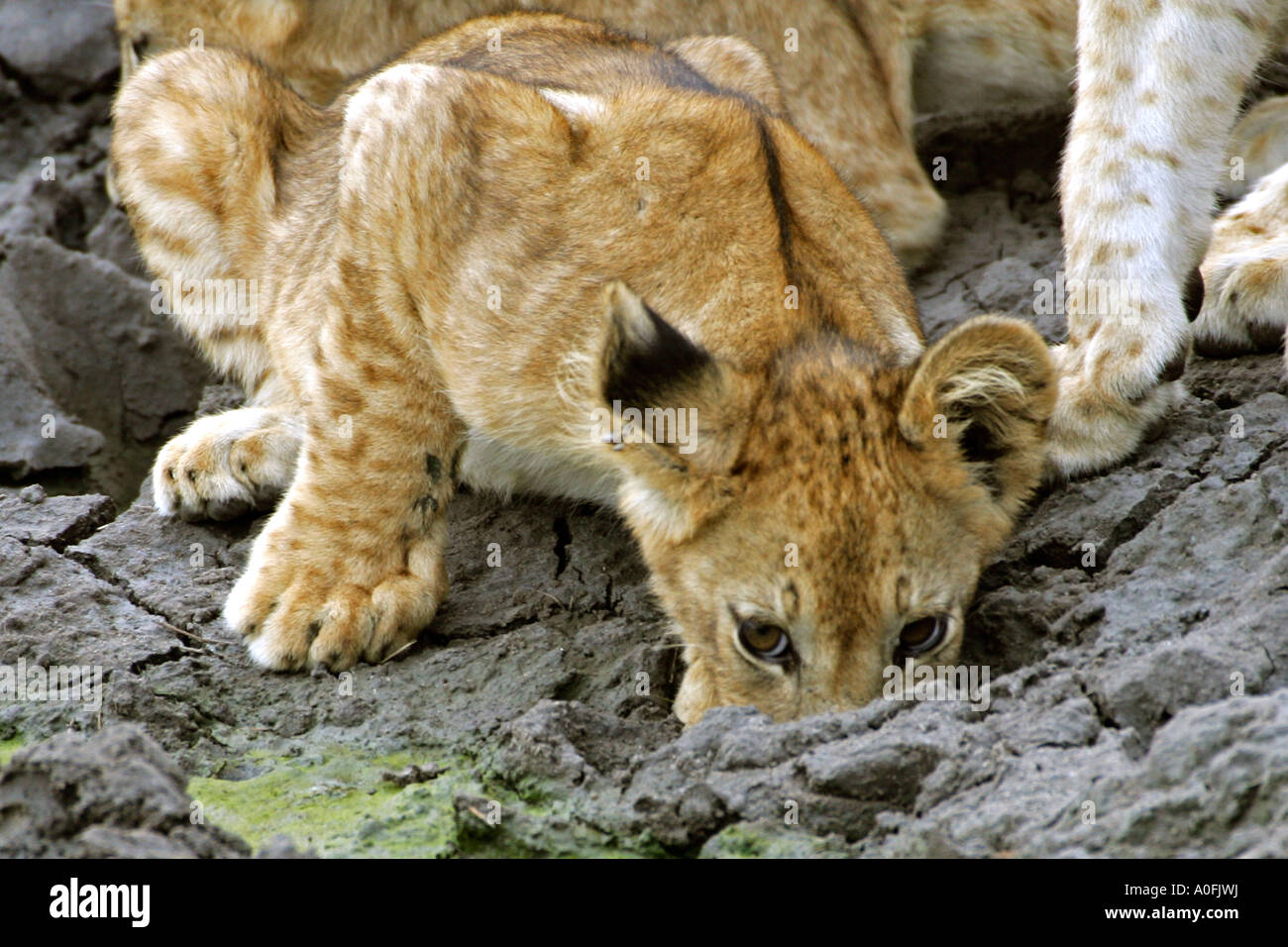 Selous Game Reserve World Heritage Site Tanzania   lion cubs drinking water edge - Stock Image