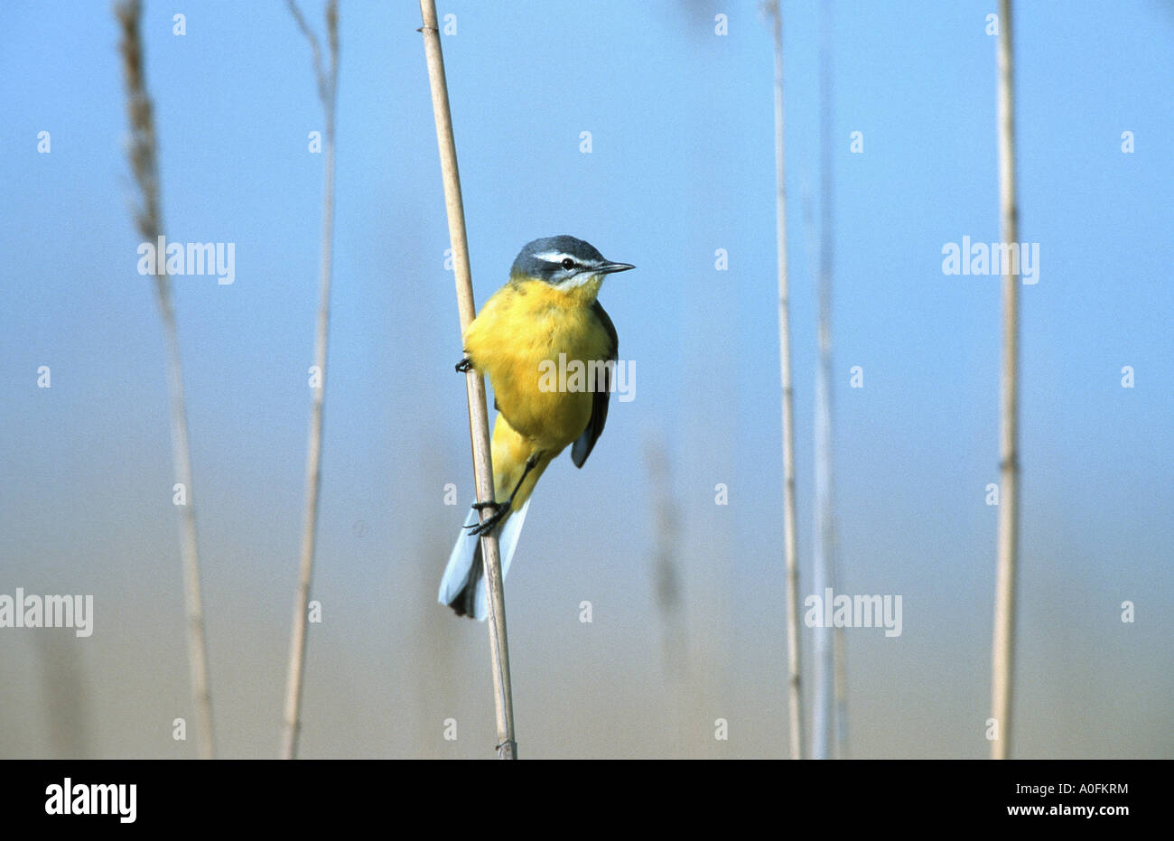 yellow wagtail (Motacilla flava), male, sitting on stem of reed, Austria - Stock Image