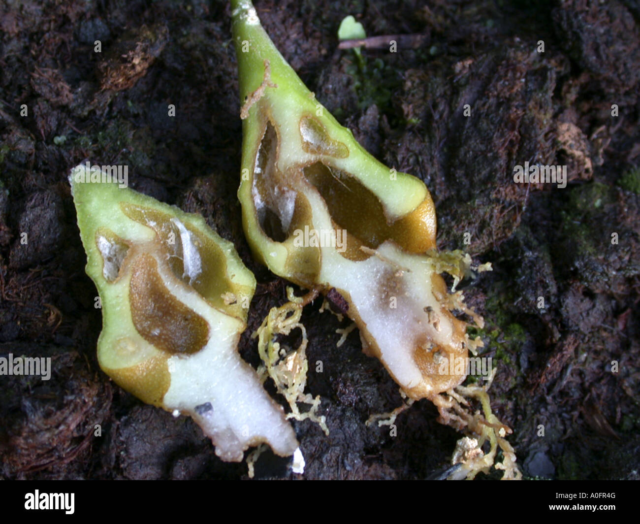 ant plant (Hydnophytum formicarium), excavete tubers inhabited by stinging ants Stock Photo