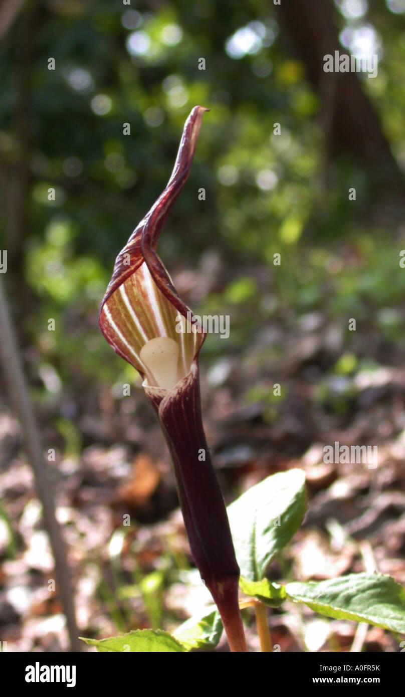 Snow Rice-Cake Plant (Arisaema sikokianum), inflorescence, which represents a treacherous trap Stock Photo