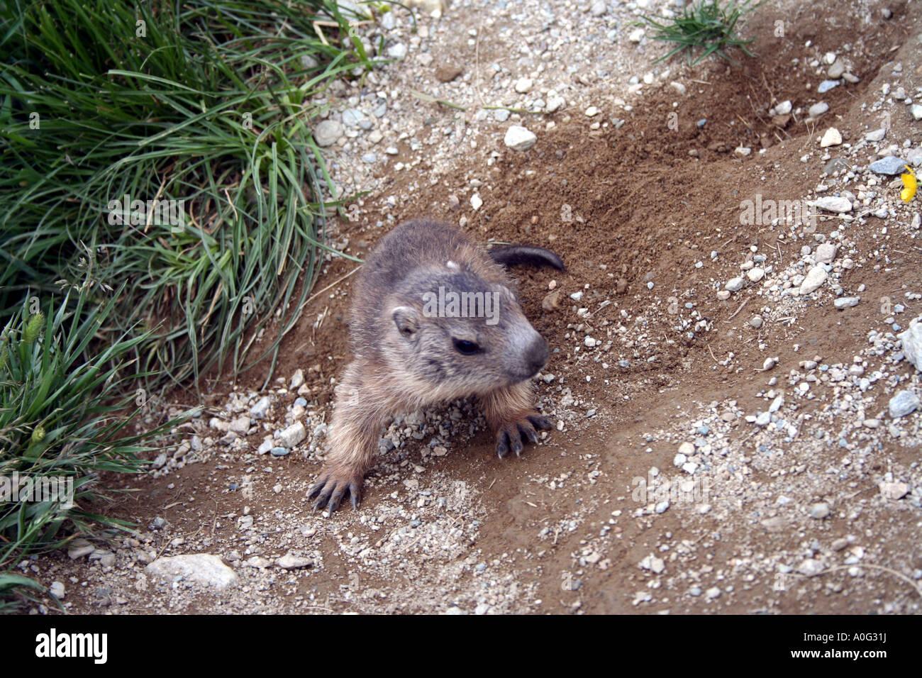 Fearless baby marmot near his burrow, Gran Paradiso National Park, Italian Alps - Stock Image