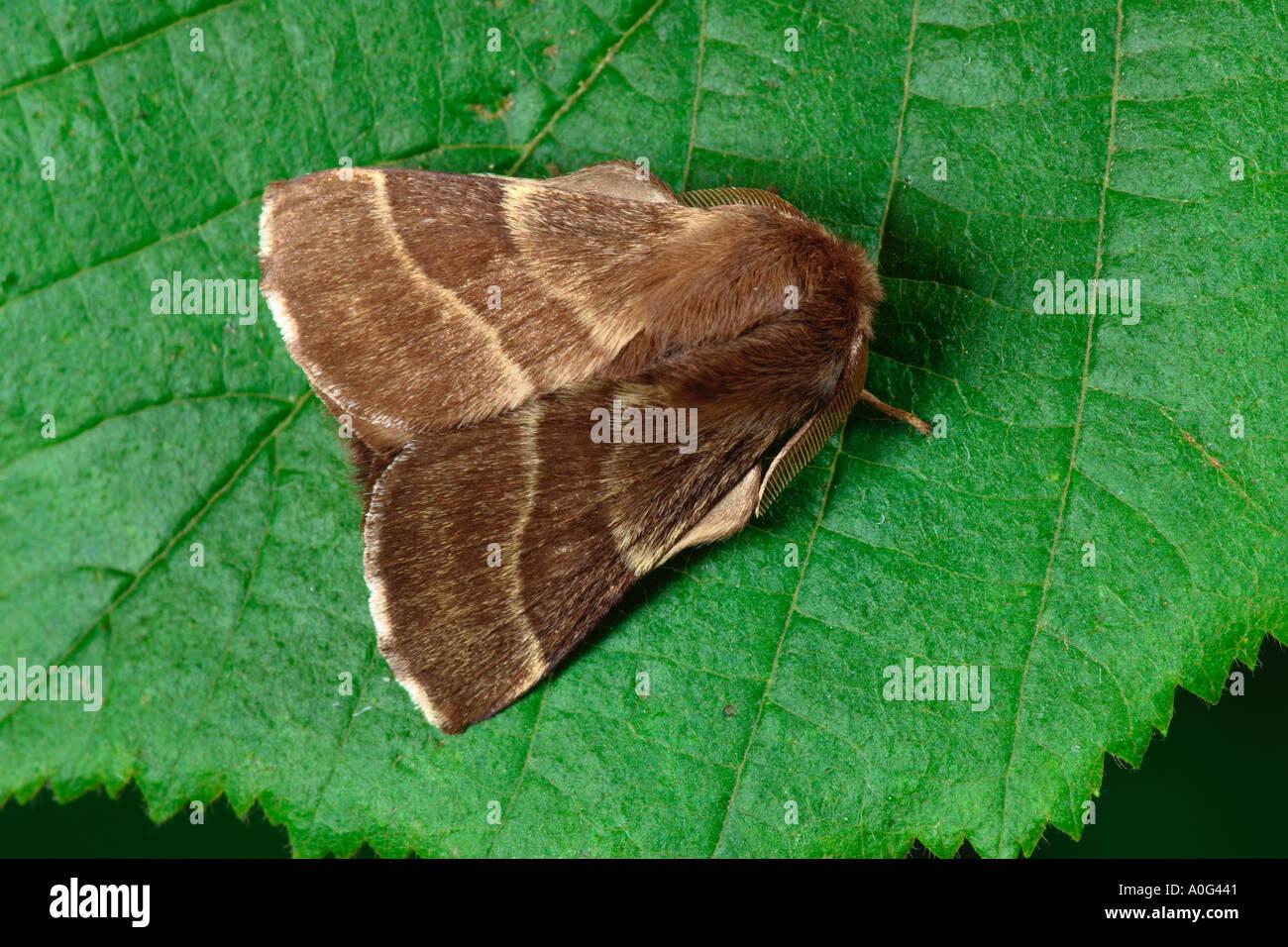 The Lackey (Malacosoma neustria) - Stock Image