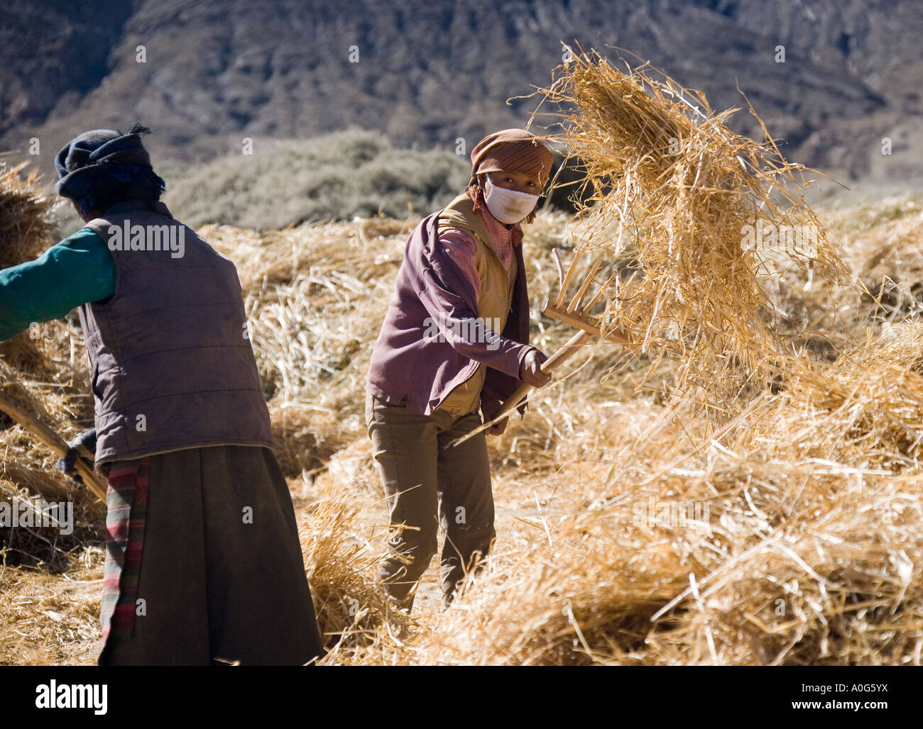 Rural life at harvest time in Tibet near the town of Gyantse in the Tibet Autonomous Region of China - Stock Image