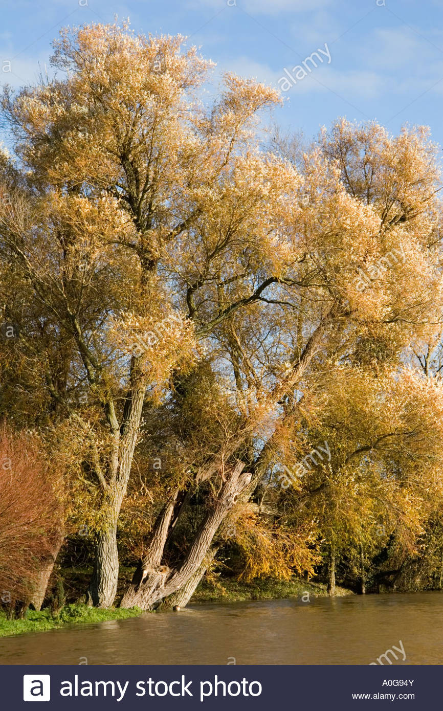 Autumn leaves on trees on the banks of the River Thames near Lechlade in Glocestershire - Stock Image