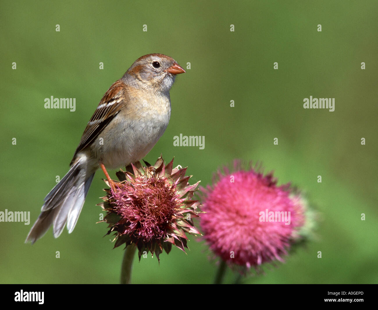 Field Sparrow on Bull Thistle - Stock Image