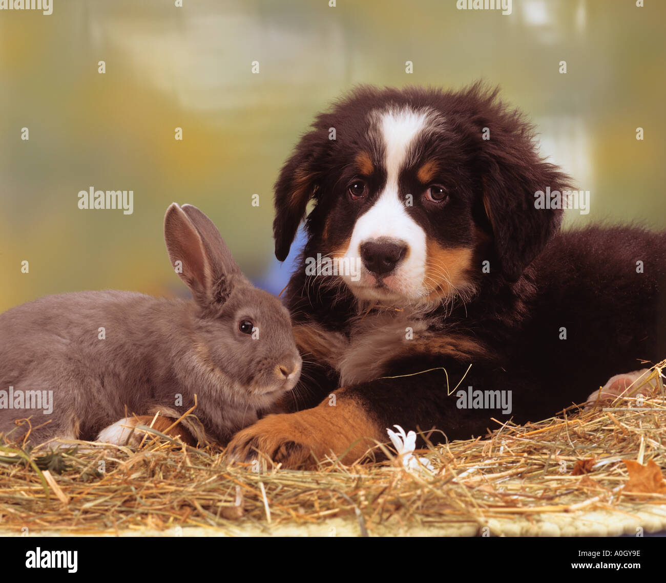 Animal-friendship : Bernese Mountain dog puppy with a rabbit - Stock Image