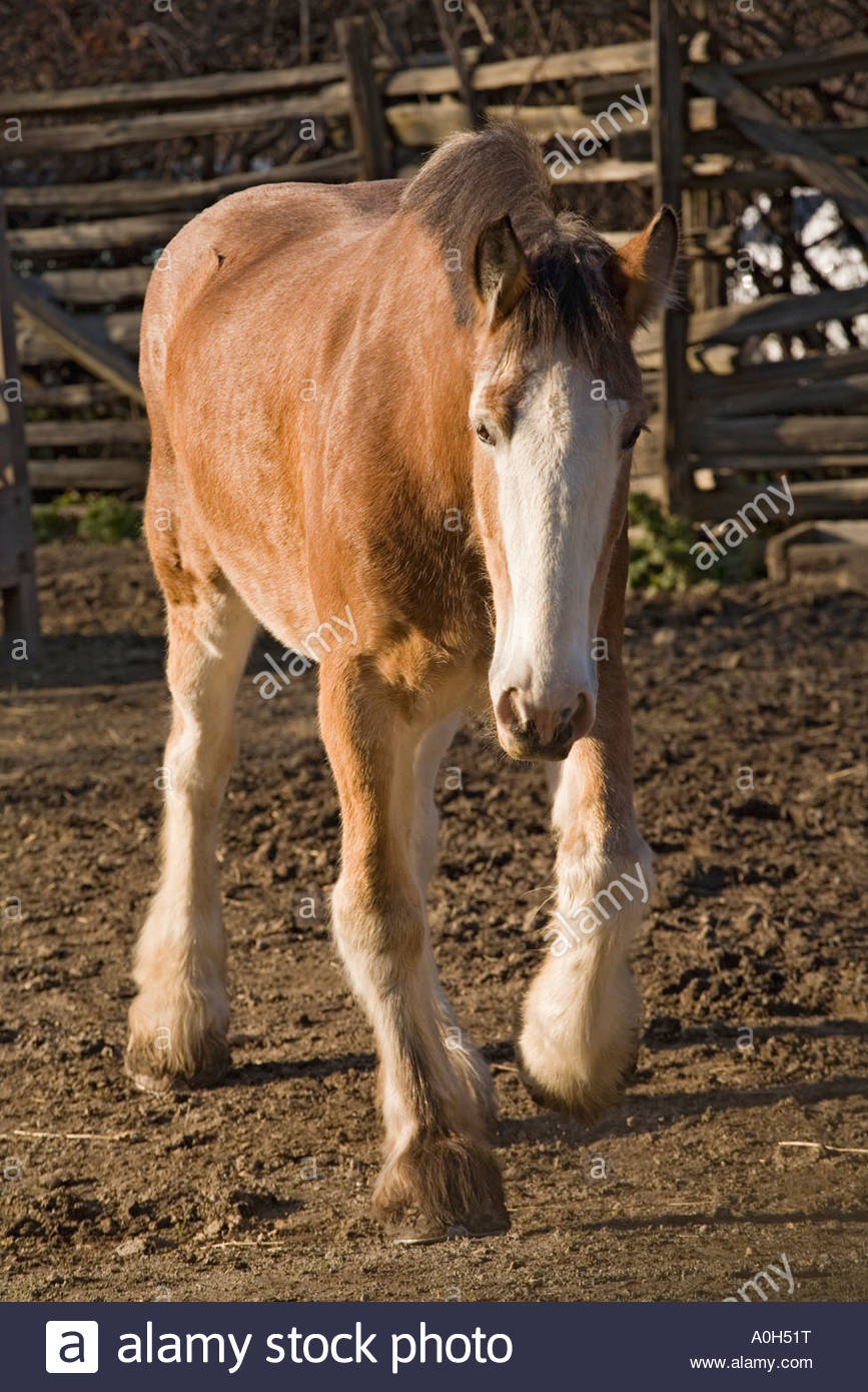 Clydesdale draft horse at Black Creek Pioneer Village in Toronto Ontario Canada - Stock Image