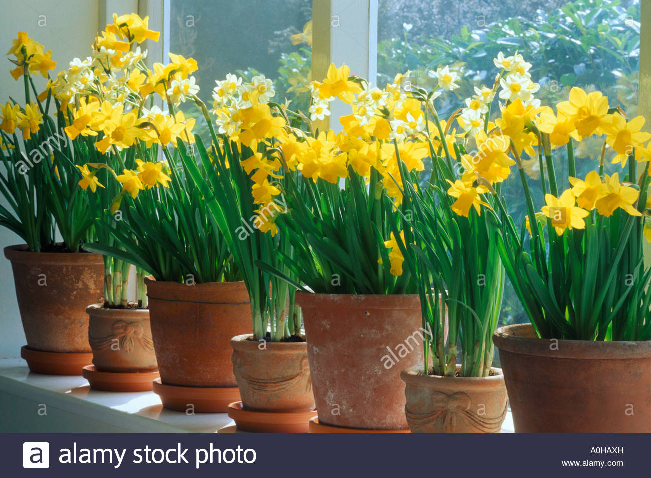 Image result for Images of indoor daffodils