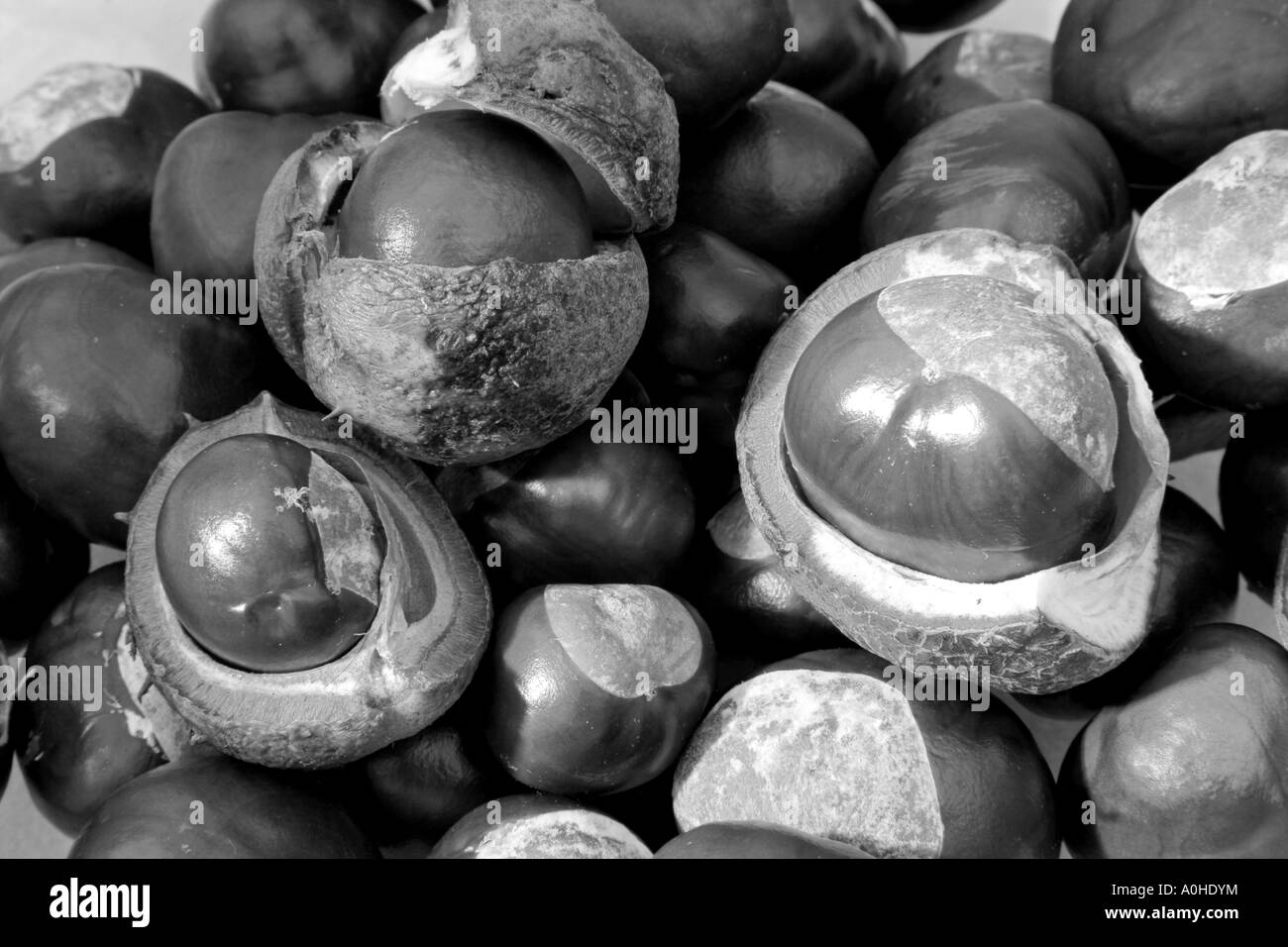group of conkers - Stock Image
