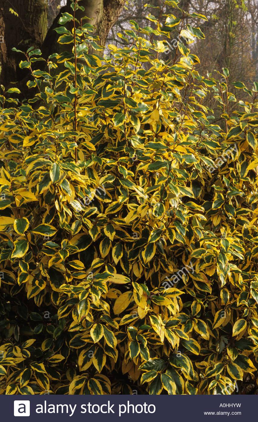 Elaeagnus x ebbingei 'Gilt Edge' - Stock Image