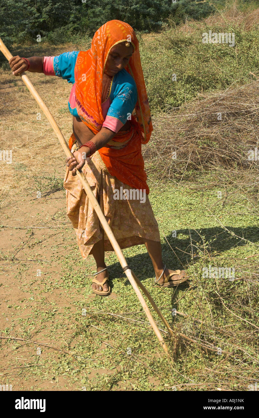 India Rajasthan Village Of Borunda Henna Crop Elderly Woman Wearing