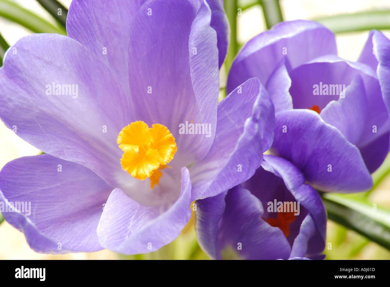 Crocus flower - Stock Image