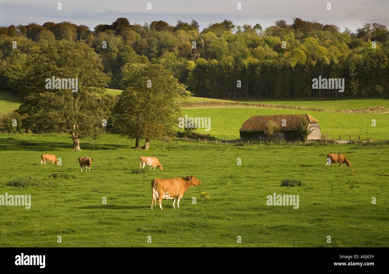Ayrshire Dairy Herd Hambleden Bucks UK - Stock Image