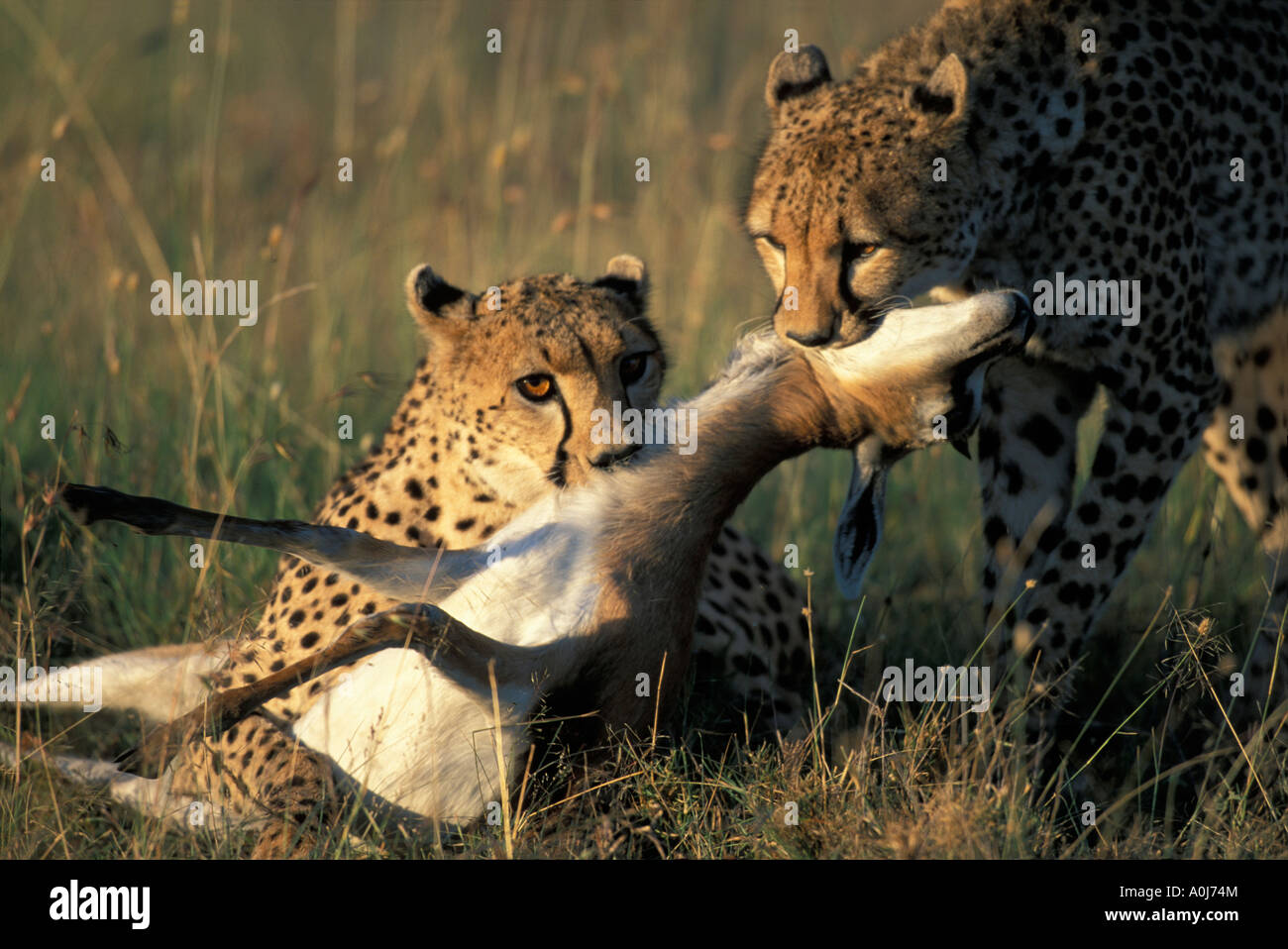 Kenya Masai Mara Game Reserve Two Cheetah Acinonyx jubatas suffocate Thomsons Gazelle Gazella thomsonii - Stock Image