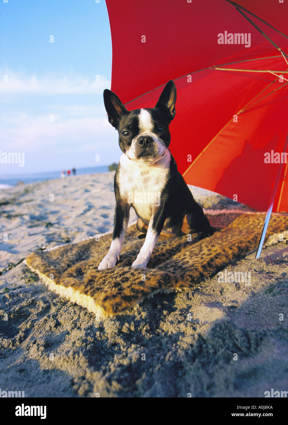 Boston Terrier at the beach - Stock Image