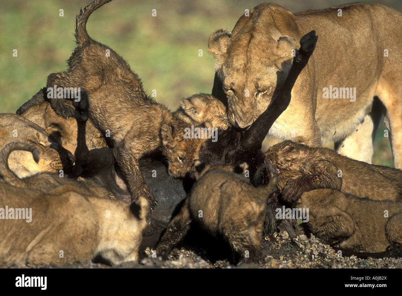 Africa Kenya Masai Mara Game Reserve Mud covered Lion pride Panthera leo feeds on wildebeest kill in Musiara Marsh Stock Photo