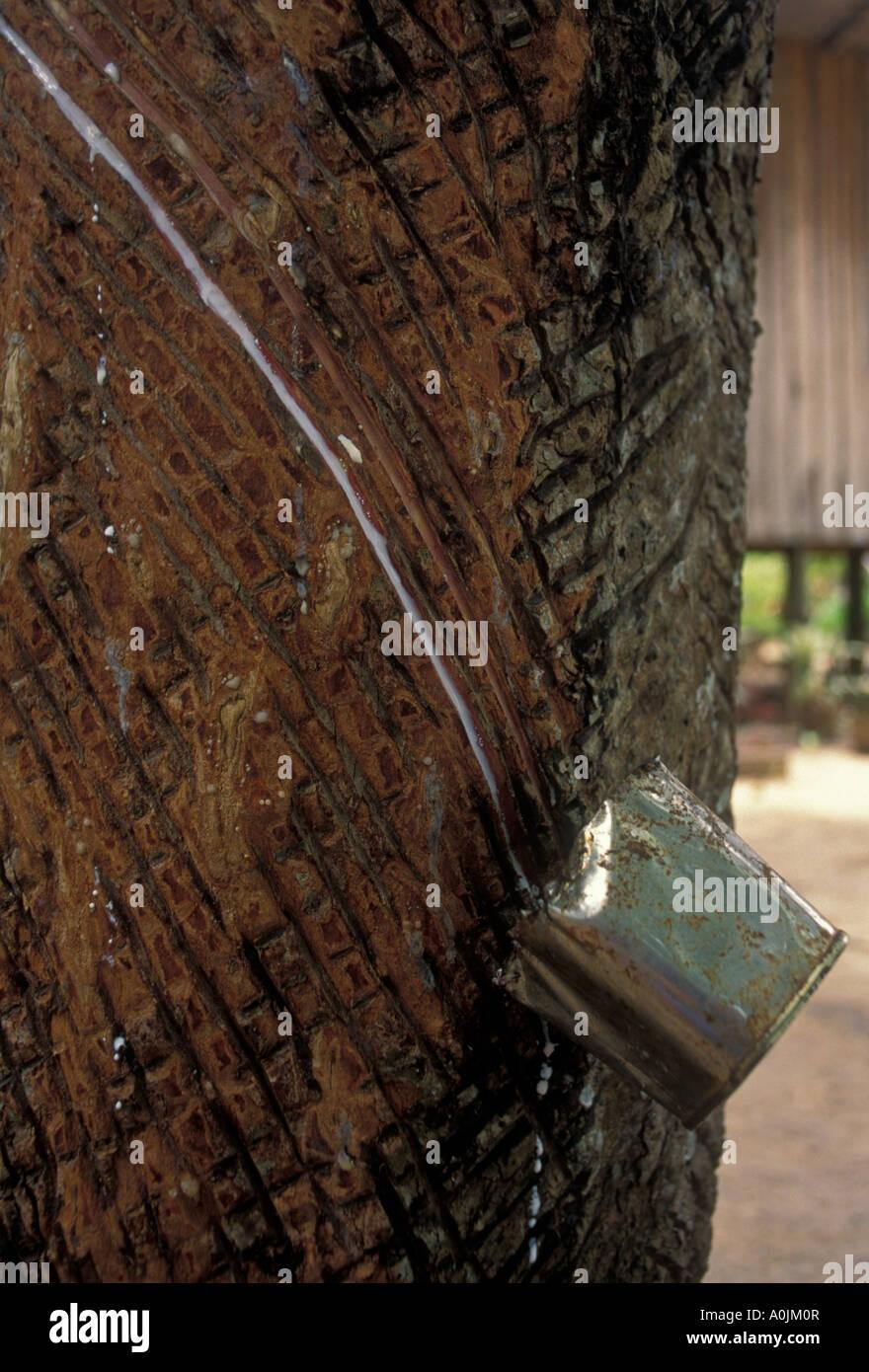 Brazilian Rubber Tree Hevea Stock Photos Amp Brazilian