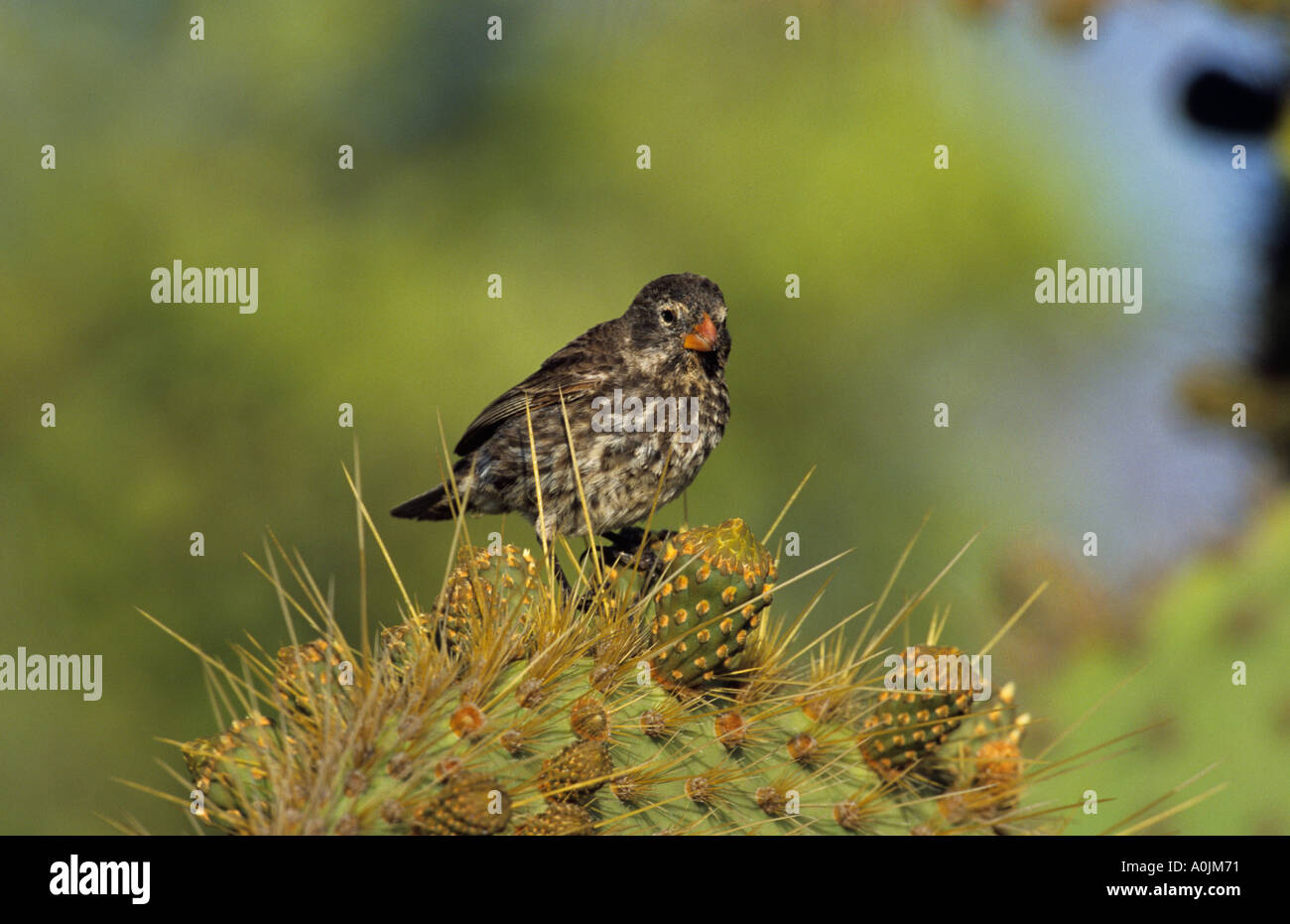 Cactus Ground Finch common Cactus finch female Geospiza scandens South Plaza Island - Stock Image