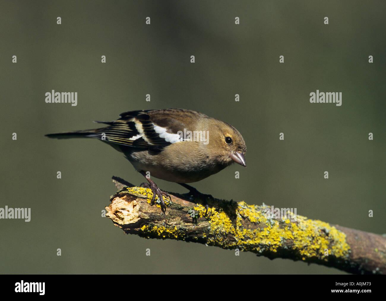 Chaffinch female Fringilla coelebs - Stock Image