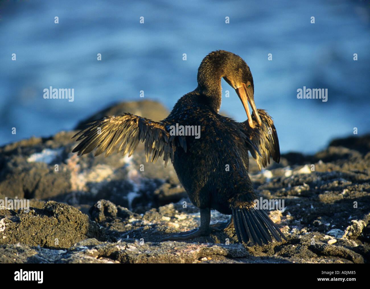 Flightless Cormorant preening Phalacrocorax harrisi - Stock Image