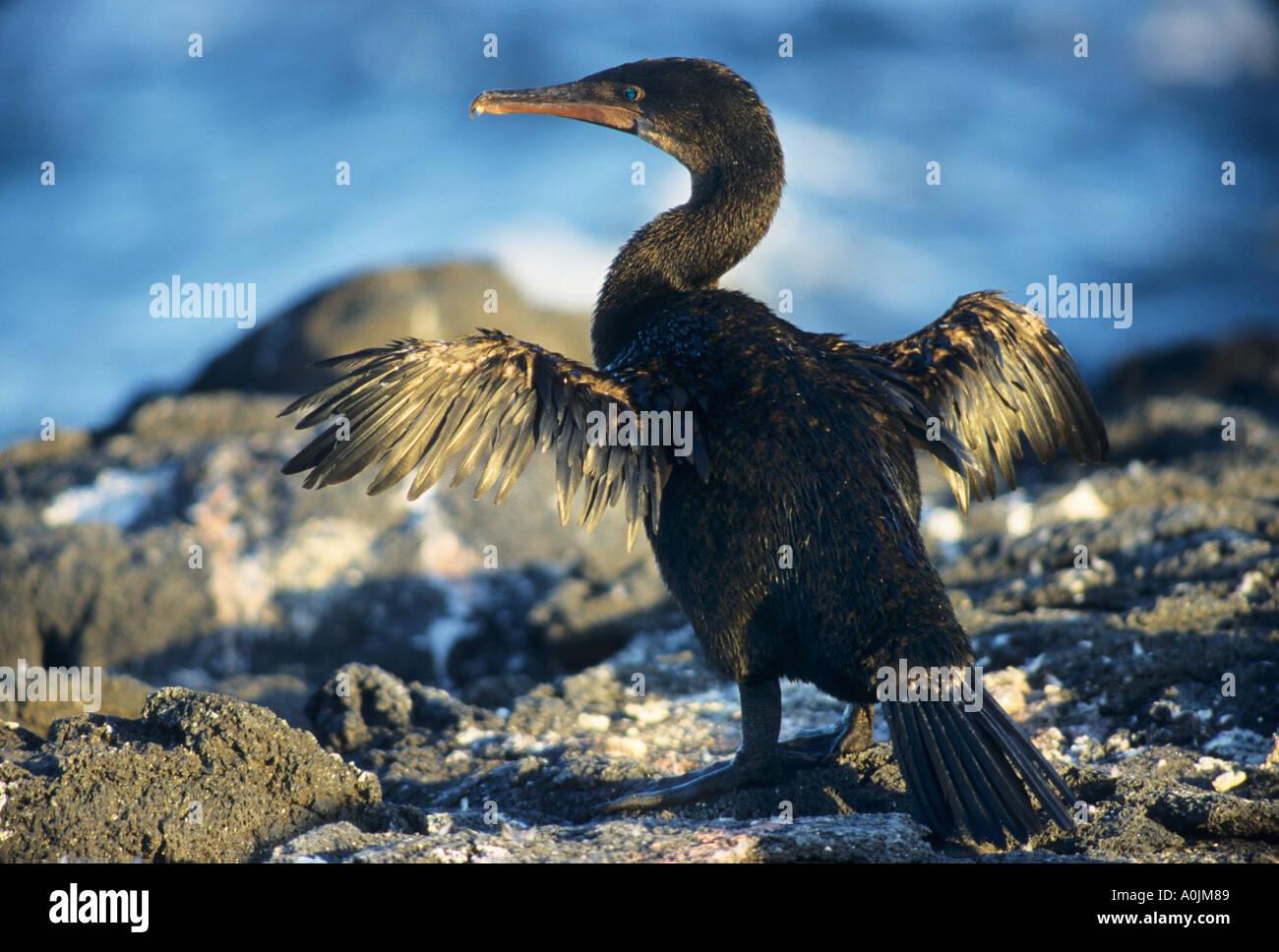 Flightless Cormorant drying wings Phalacrocorax harrisi - Stock Image