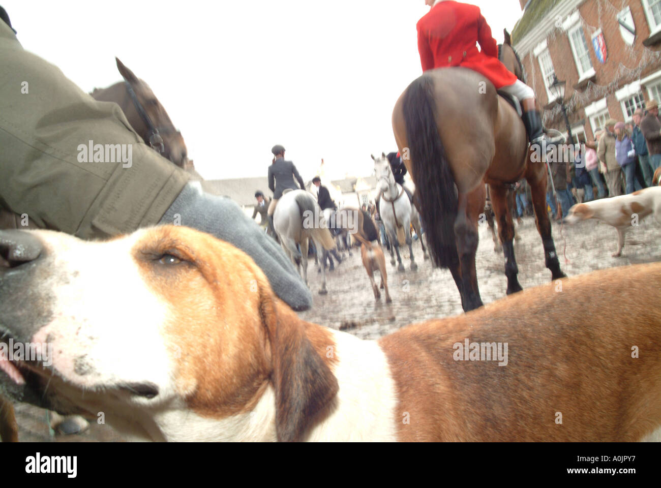 Boxing Day Hunt Meet portrait of hunting dog - Stock Image