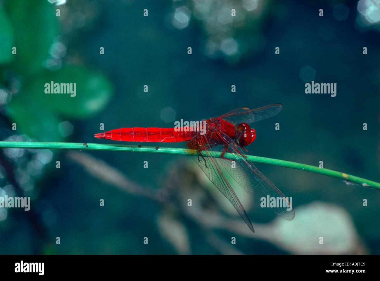 Scarlet Darter Dragonfly, Crocothemis erythraea. At rest on stem Stock Photo
