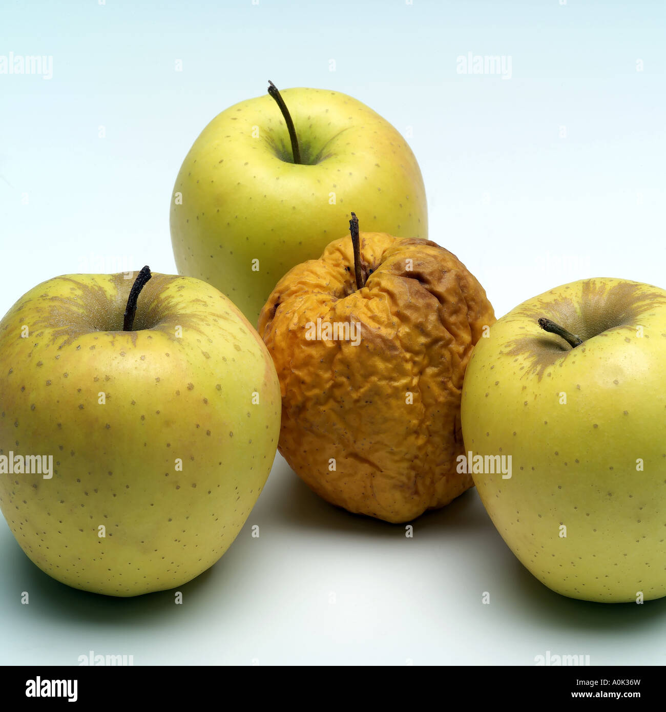 Three fresh and one crumpled Golden Delicious apples - Stock Image