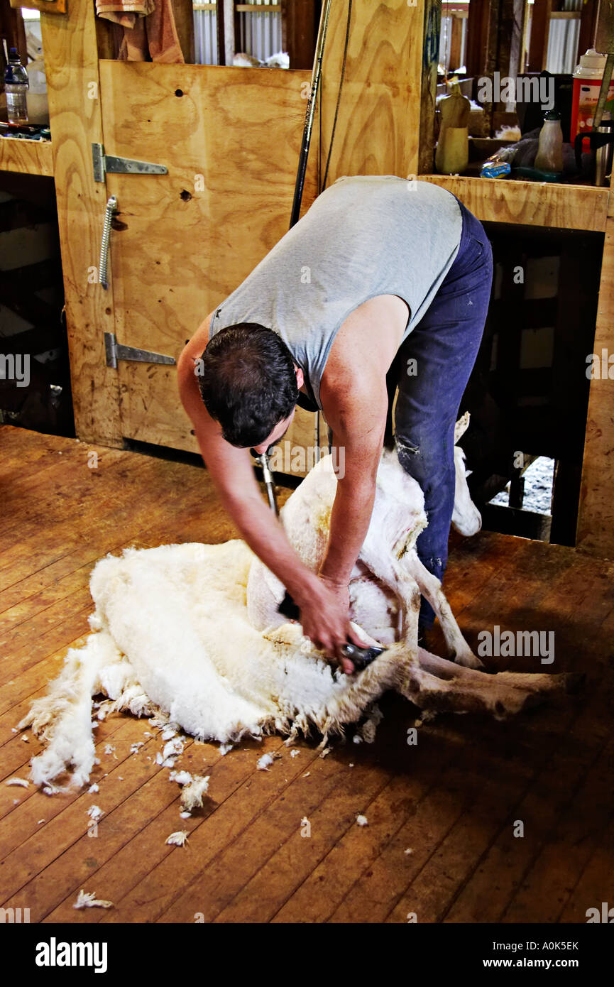Sheep Shearing North Island New Zealand Stock Photo