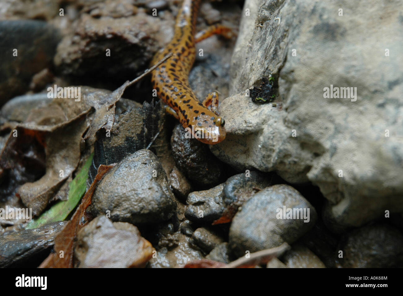P31 308 Salamander Near Little Pigeon River Tennessee close - Stock Image