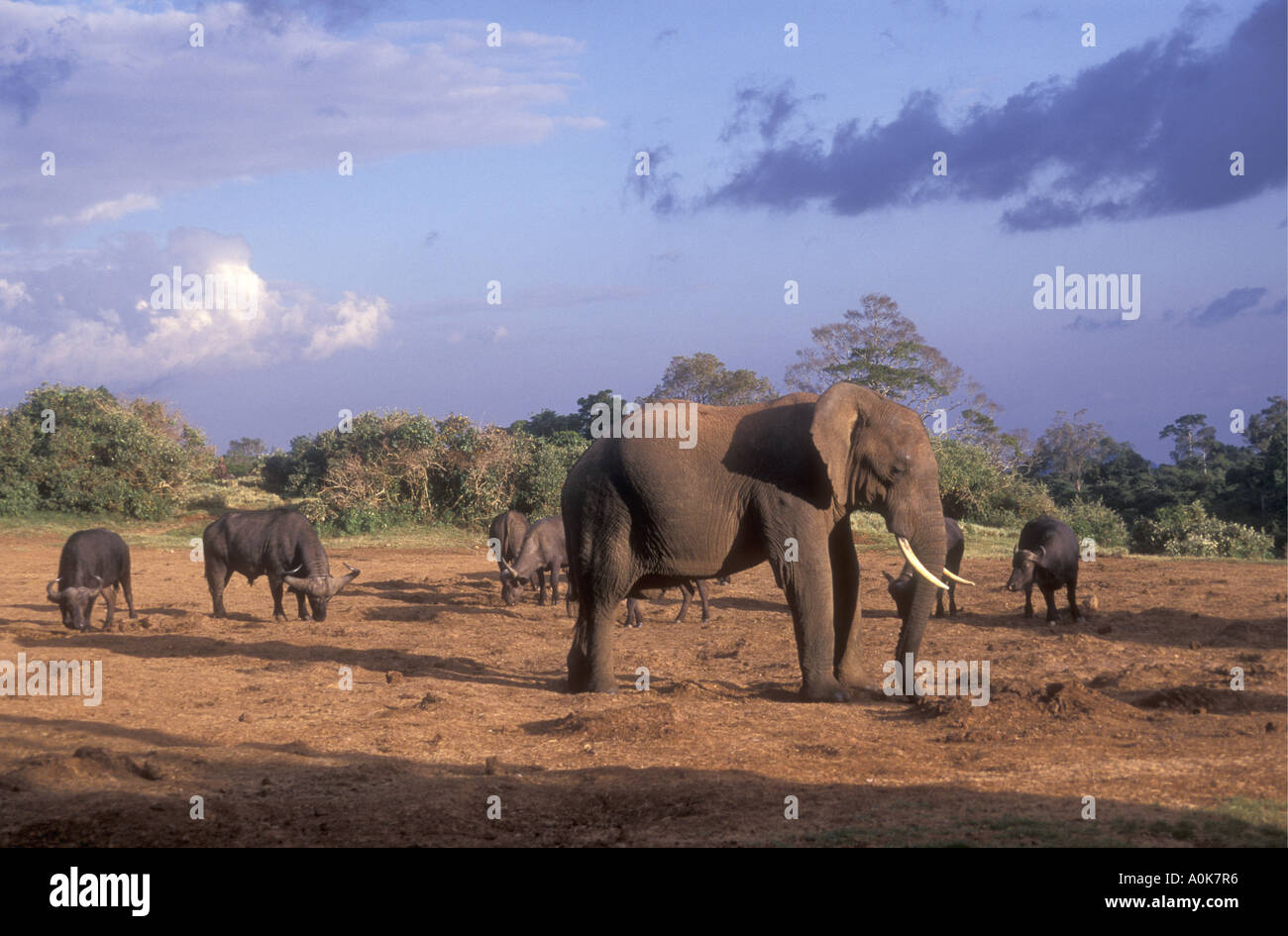 Elephant and buffalo at a salt lick in the Aberdares National Park Kenya East Africa - Stock Image