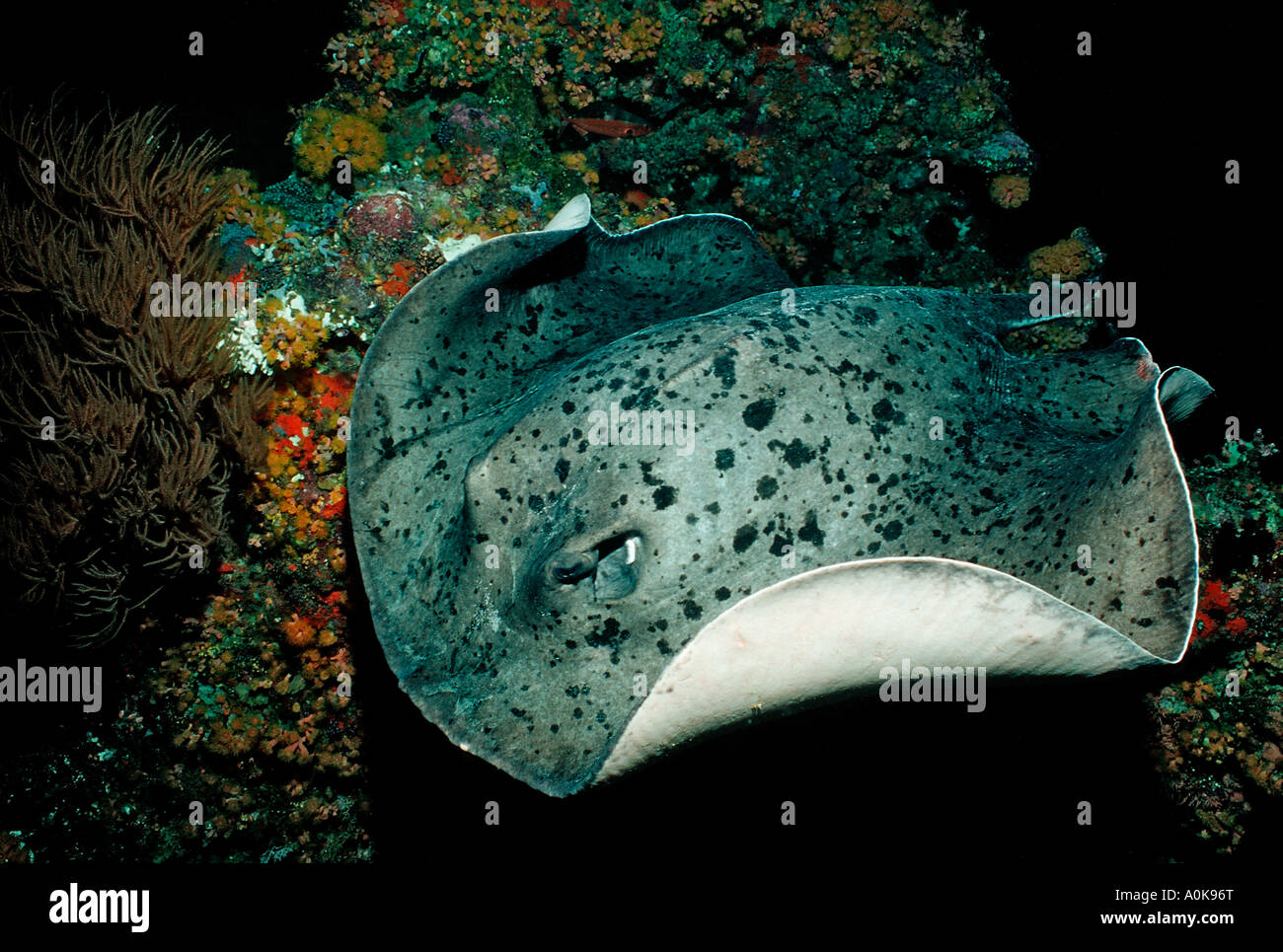 Black spotted stingray Taeniura meyeni Indian ocean Maldives Islands - Stock Image