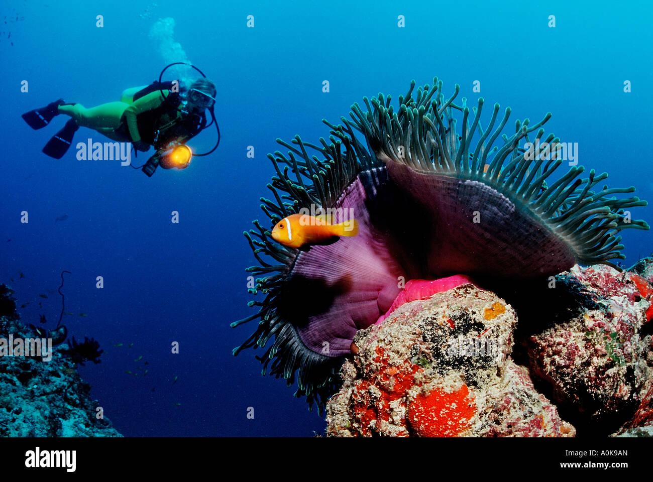 Diver observe Anemonefish Indian Ocean Maldives Island - Stock Image