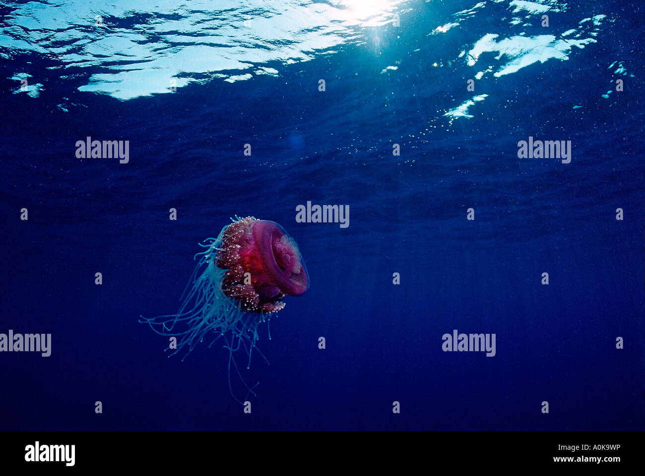 Crown jellyfish in Open Sea Netrostoma setouchina Red Sea Egypt - Stock Image