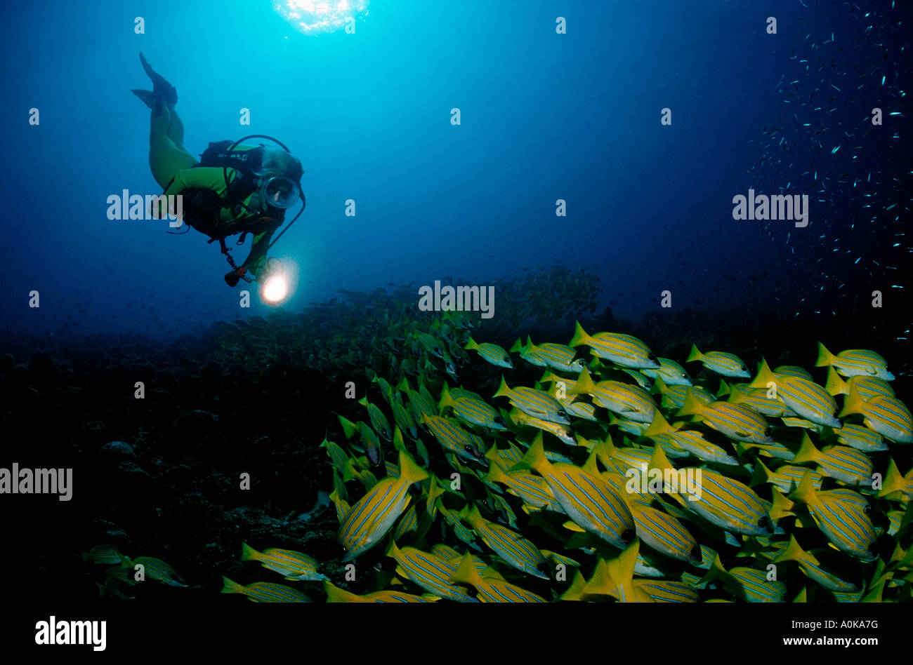 Diver and Bluestripe snapper Lutjanus kasmira Indian Ocean Maldives Island - Stock Image