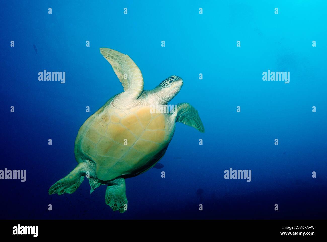 Hawksbill Turtle Eretmochelys imbricata Indian Ocean Maldives Island Stock Photo