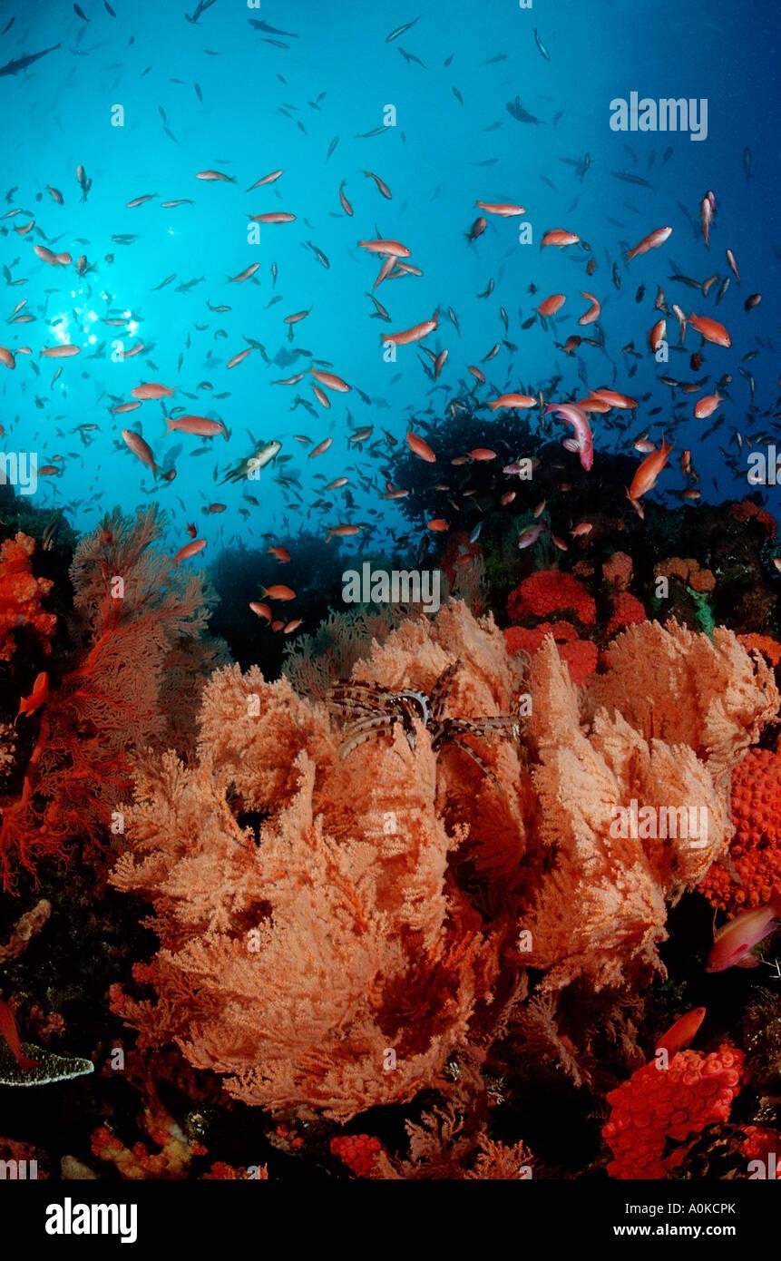 Coral Reef and Anthias Anthiinae Komodo Indian Ocean Indonesia - Stock Image