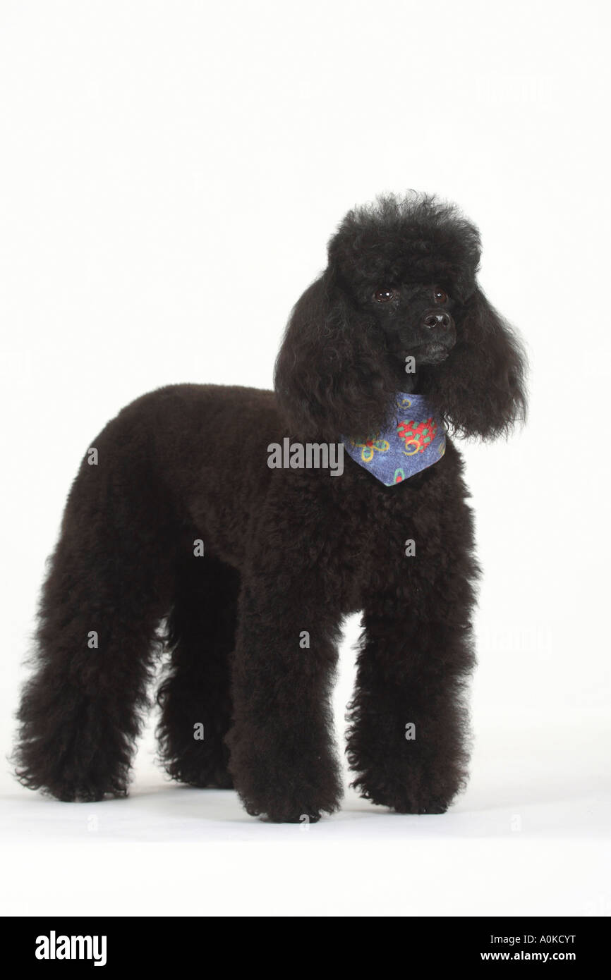 Miniature Poodle black neckerchief - Stock Image