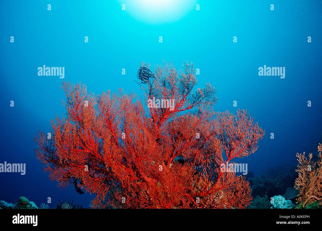 Red Sea fan Gorgonaria sp Manado Sulawesi Celebes Sea Indonesia Stock Photo