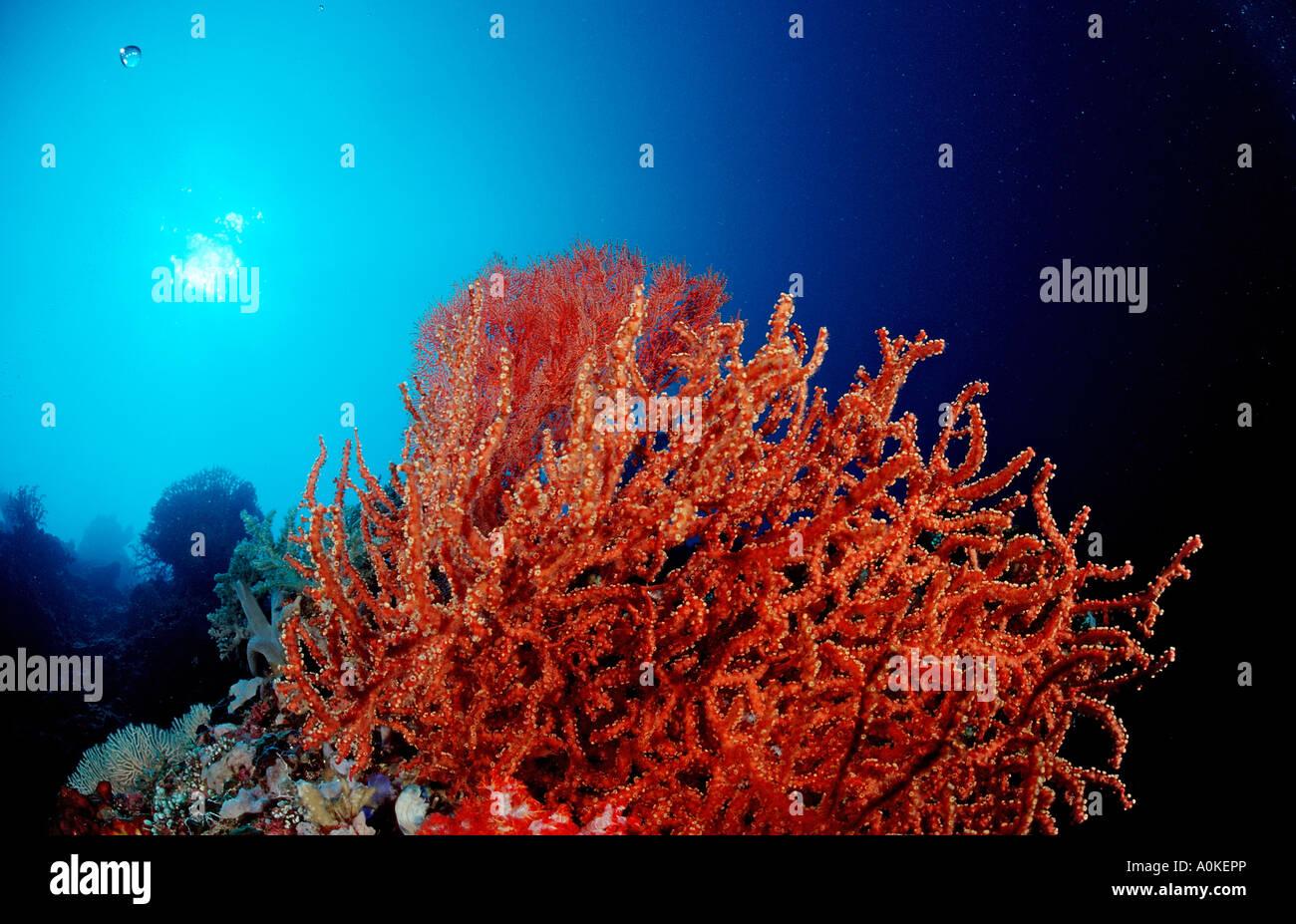 Red Sea fan Gorgonaria sp Komodo Indio Pacific Indonesia Stock Photo