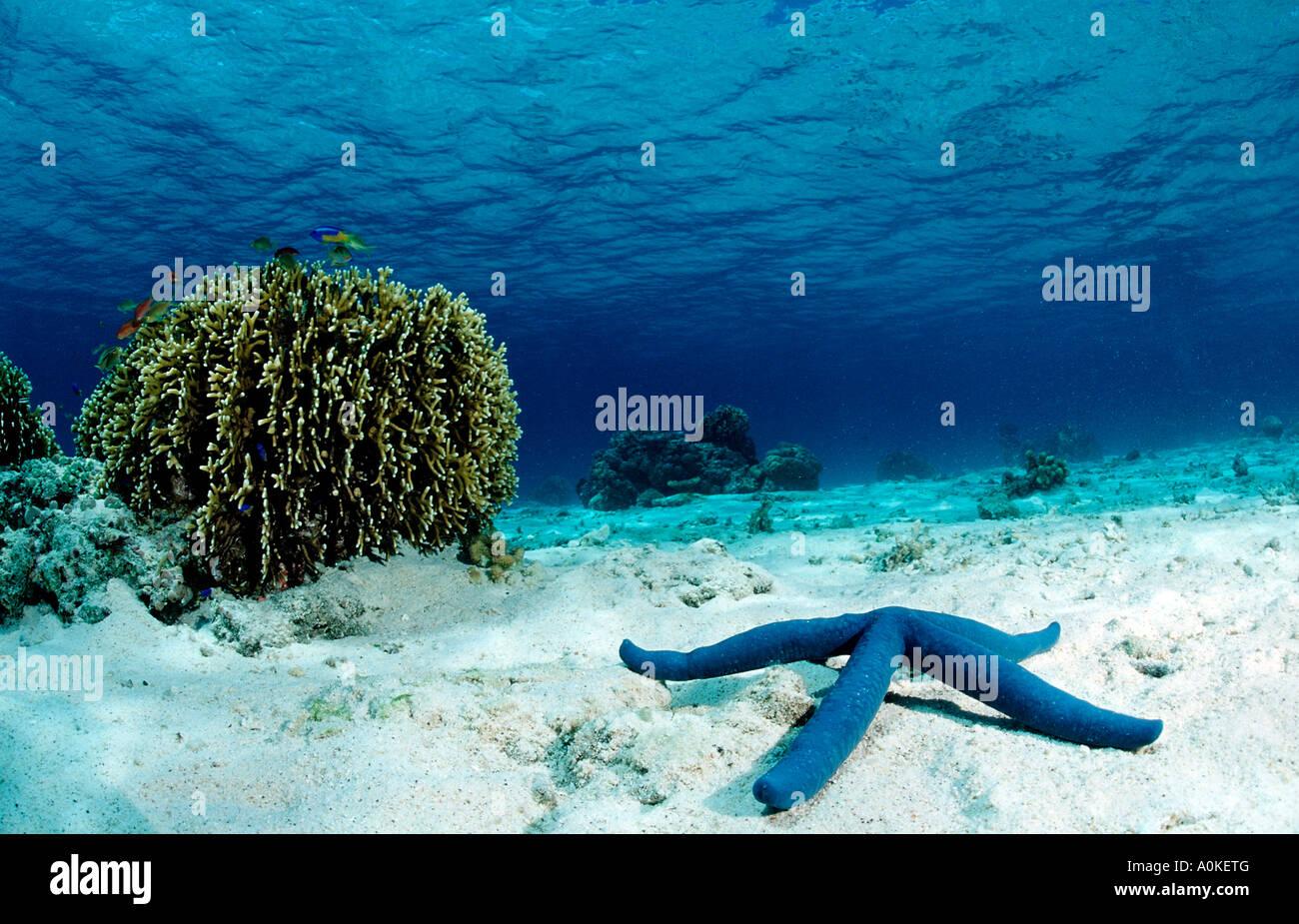Blue Starfish Linckia laevigata - Stock Image