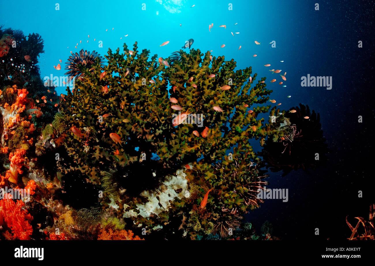 Coral Reef with Anthias Anthiinae sp Komodo Flores sea Indonesia - Stock Image