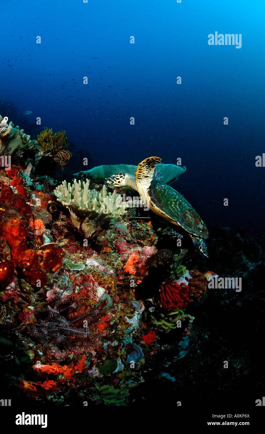 Hawksbill turtle Eretmochelys imbricata Komodo Indio Pacific Indonesia - Stock Image