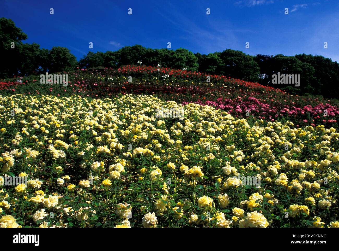 A Fresh Colourful Image Of A Yellow Pink And Red Rose Garden With