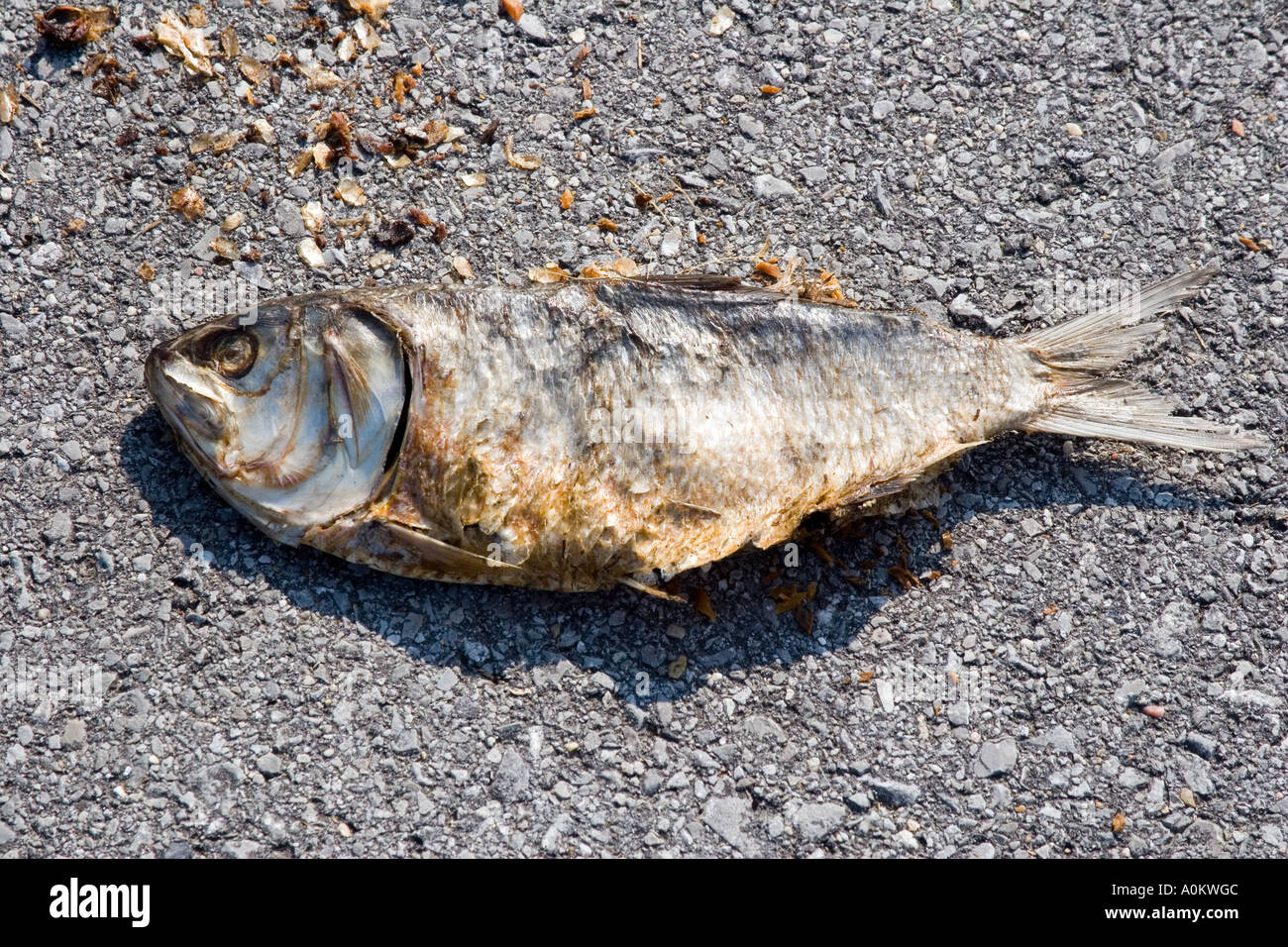 Dead fish left in the road after Hurricane Katrina in Louisiana - Stock Image