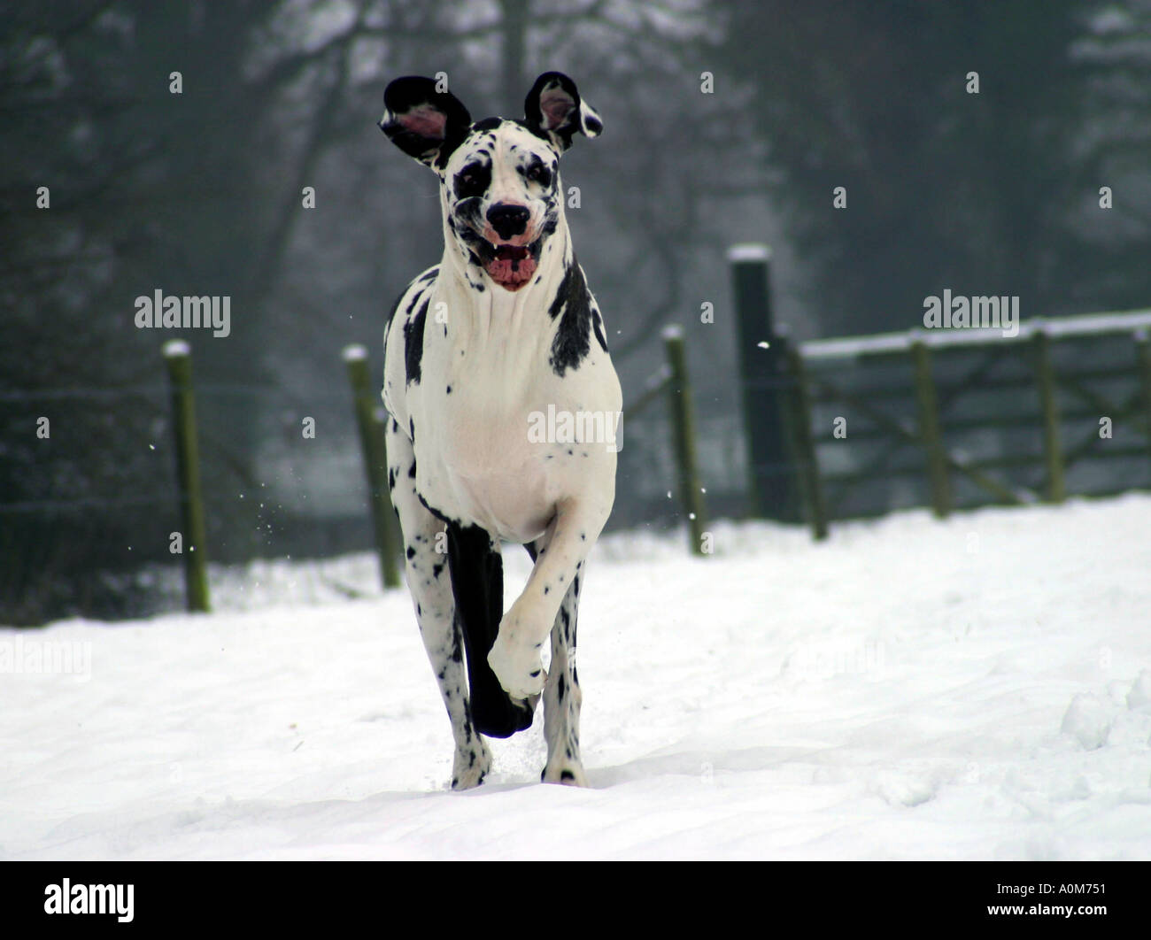 Great dane dog running in snow - Stock Image