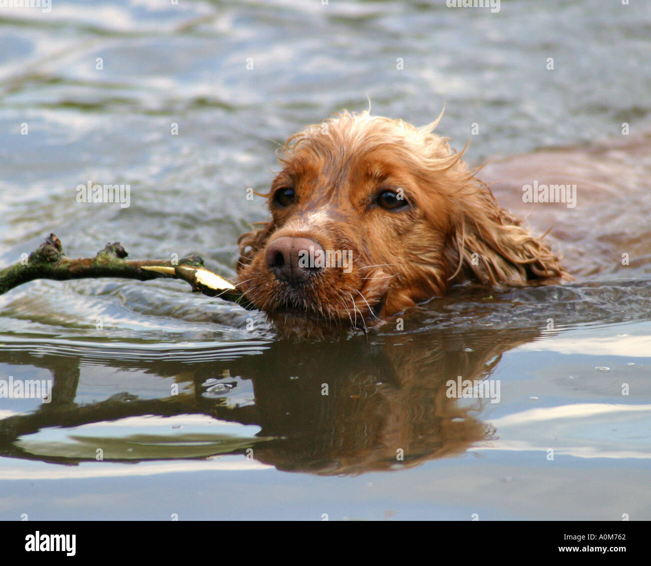 cocker spaniel dog swiming with stick - Stock Image