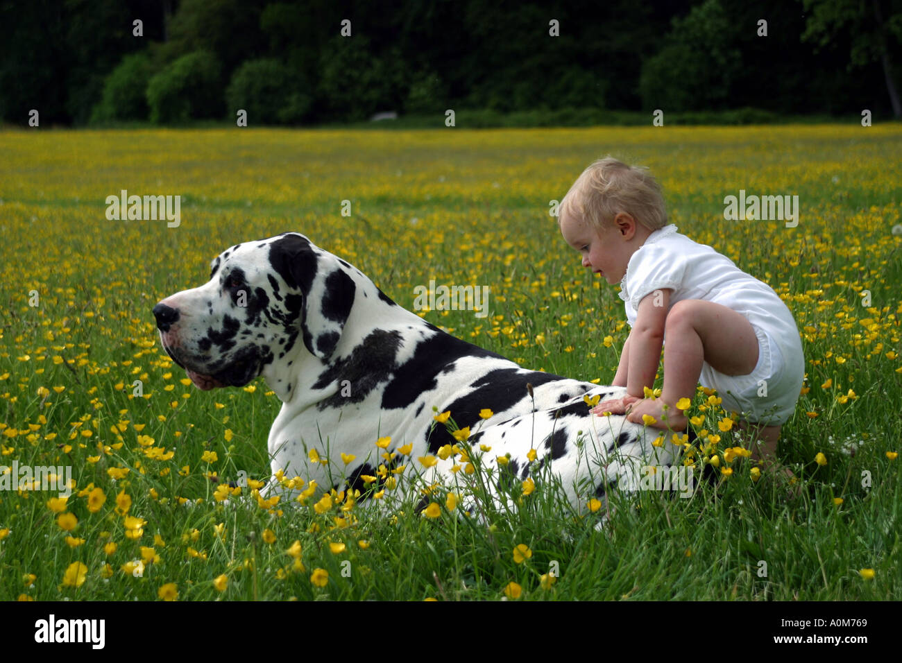 child with great dane dog - Stock Image