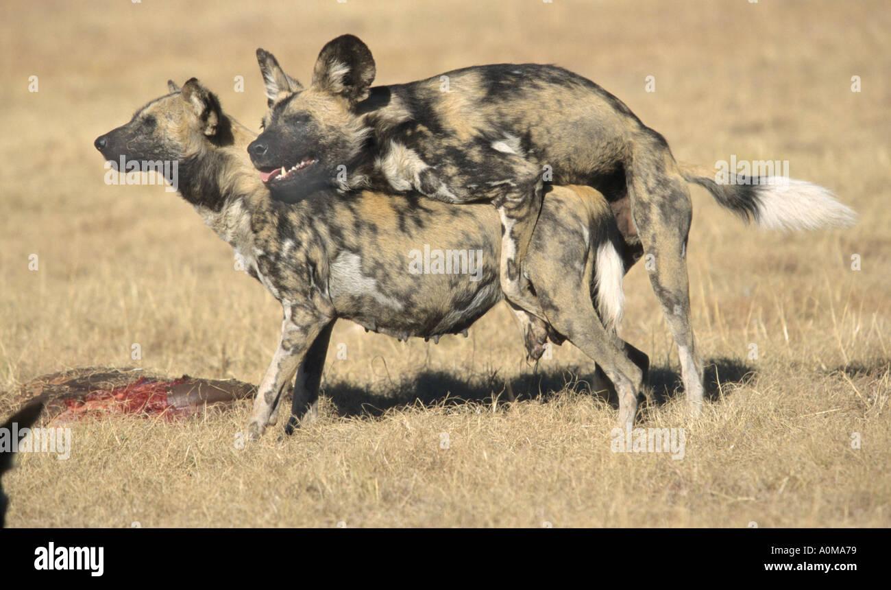 Breeding Dogs: The Tie - m